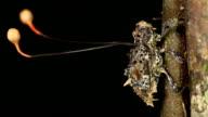 Cordyceps fungus parasitizing a weevil video