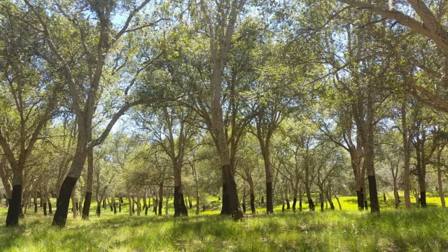 Cork Oak Tree Forest Summer Day video
