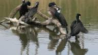 cormoran video
