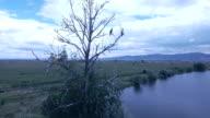 Cormorant in dry tree video