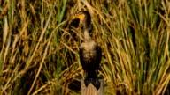 Cormorant resting on wood post, looking around video
