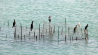 Cormorants and storks video