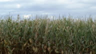 Corn blowing in field video