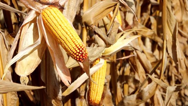 Corn Cob in a Field video