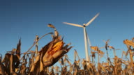 Corn Cob Ready for Harvest with Wind Turbine in Background video