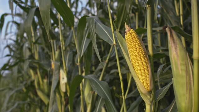 DS Corn crop in the field video