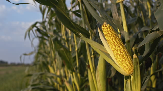 Corn crop in the wind video