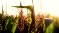 Corn Crop video