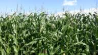 Corn crop. video