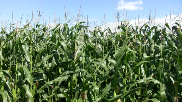 Corn crop. video