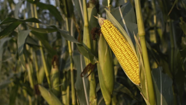 DS Corn crop video
