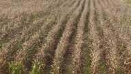 Corn Crop Withered Away video