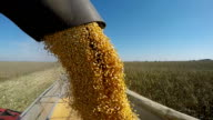 Corn Falling from Combine Auger into Grain Cart video