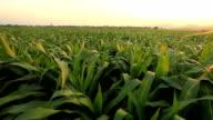 Corn farm video