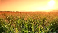 Corn farm. video
