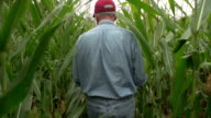Corn farmer walking through his field away from camera video