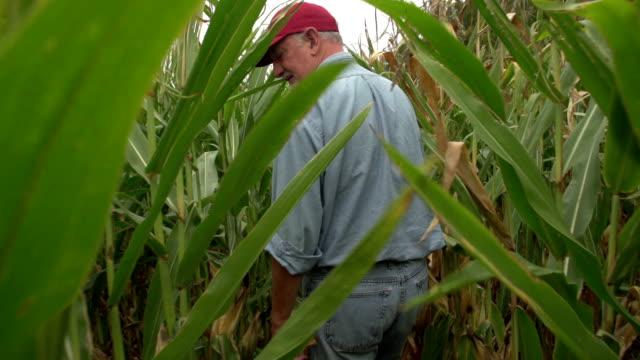 Corn farmer walking through his field in slow motion video