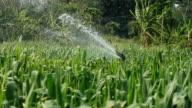 Corn farms video
