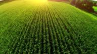 corn field aerial video