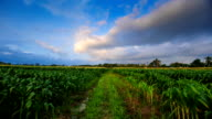 Corn field and sky with beautiful clouds video