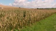Corn field at Cape Griz Nez France video