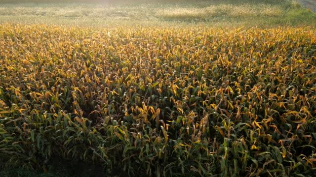 AERIAL Corn Field At Dawn video