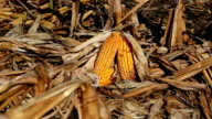 Corn Field at Harvest Time video