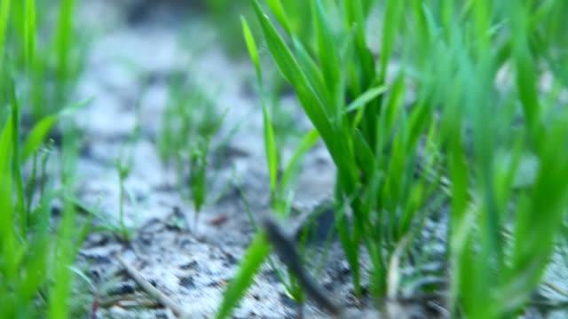 Corn field at spring video