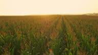 AERIAL Corn field at sunrise video