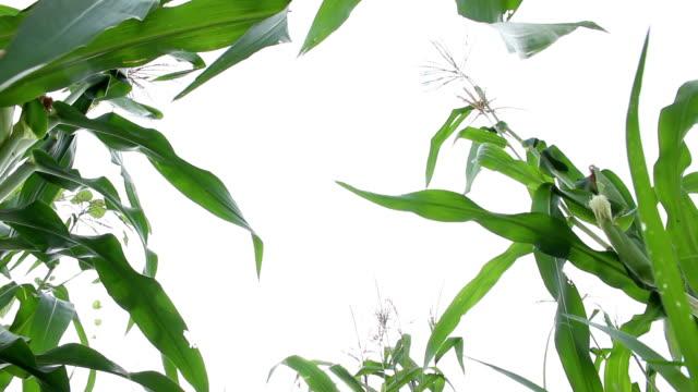 corn field background video