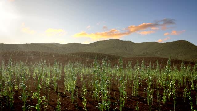 Corn Field Growing video