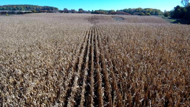 Corn field in the fall video