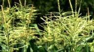 corn field little farm that produces organic food 4k video