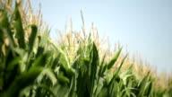 Corn Field Moving On Wind video