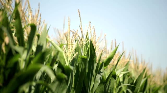 Corn Field Moving On Wind video