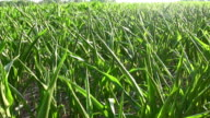 Corn Field. Overhead view. video