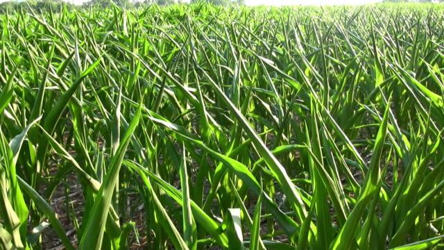 Corn Field. Overhead view. video