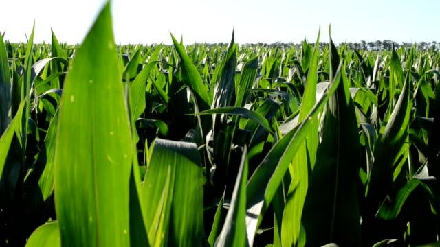 Corn field, small wind video