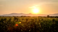 Corn field sunset video