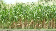 Corn field video