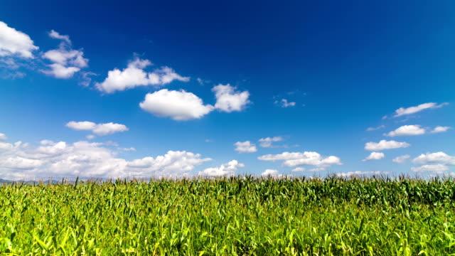 Corn field video