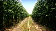 HD: Corn Field video