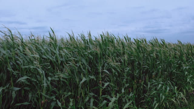 Corn field with corn plants moving in the wind while rain is pouring down video