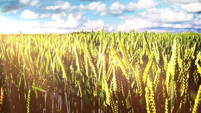 Corn fields agriculture and farm land video