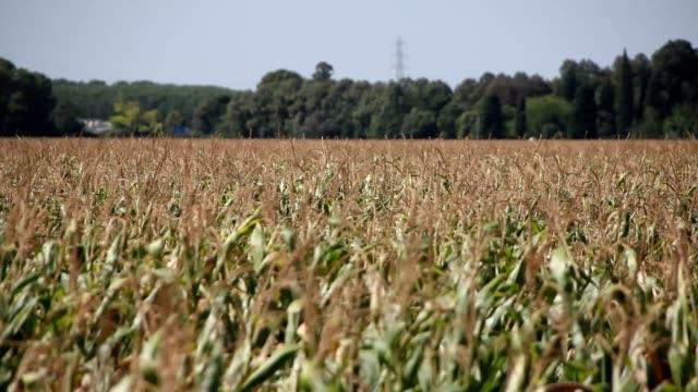 Corn fields in the wind video