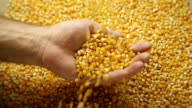 Corn grains in the hands. video