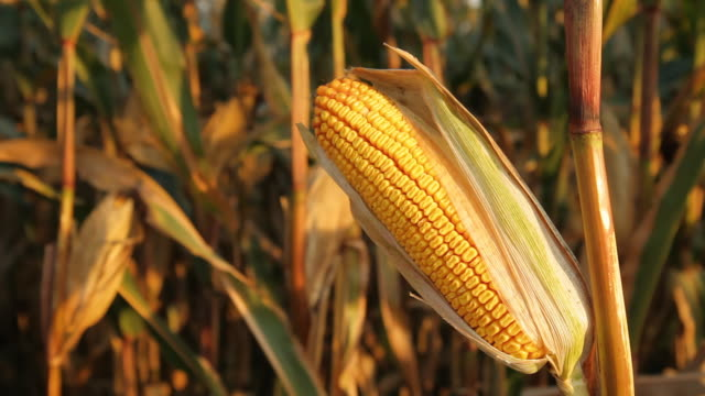 HD DOLLY: Corn In Golden Sunlight video