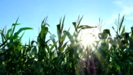 Corn Moving Across Sun video