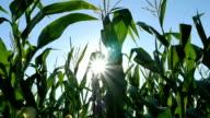 Corn Moving Into Sun video