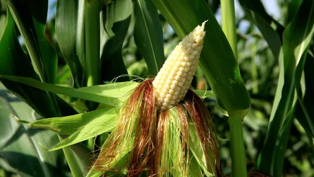 Corn on the cob video